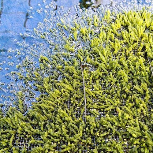 Le caviar vert d'okinawa