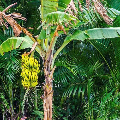 La banane : un cocktail de vertus