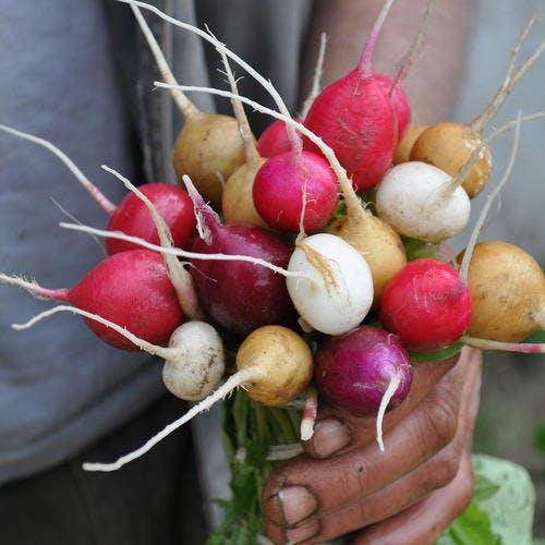 Radis : variétés, conseils d'achat et idées recettes