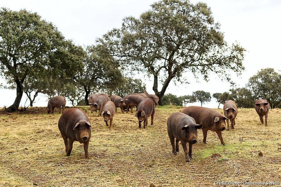 Elevage de cochons
