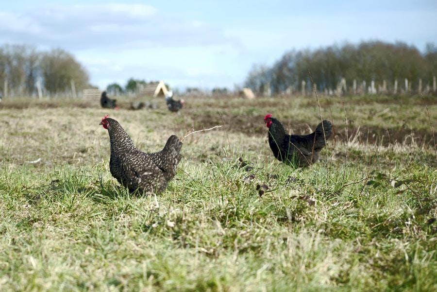 Élevage de poules près de Tours
