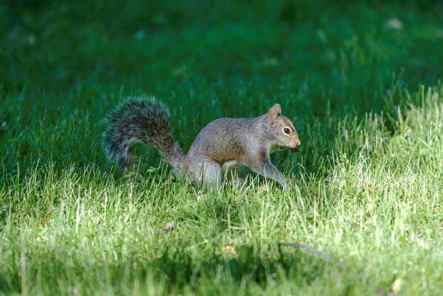 écureuil à Montréal