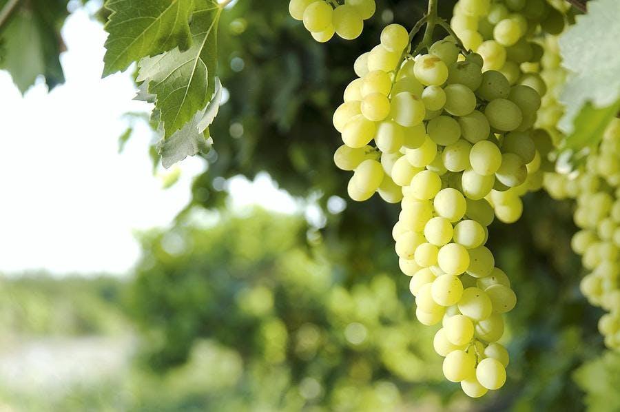 raisin-blanc-grappe-vigne_istock.jpg