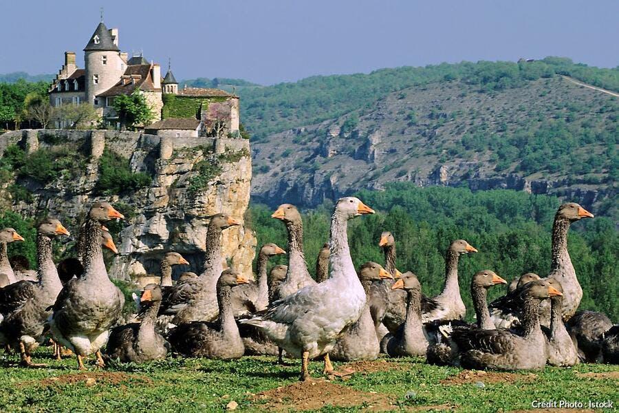Les oies d'Aquitaine