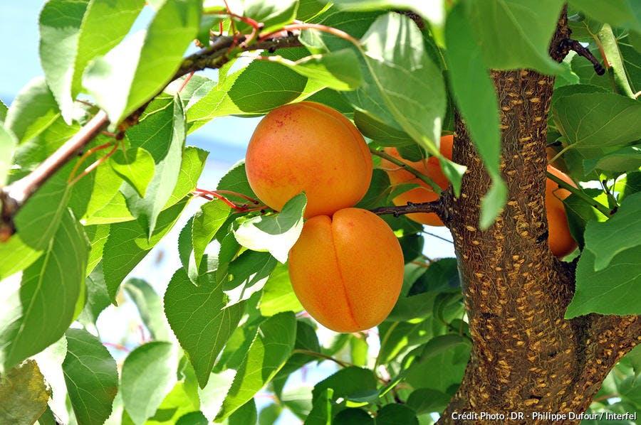 domaine-ile-abricot-branche_dr.jpg