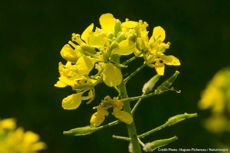Sénevé, plante à l'origine de la moutarde.