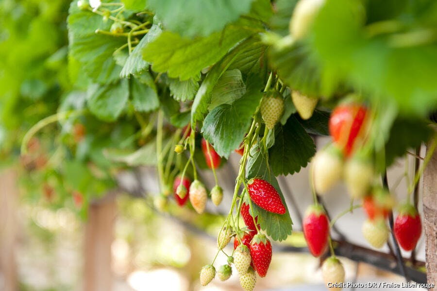 r-avn_fraise-plant_dr.jpg