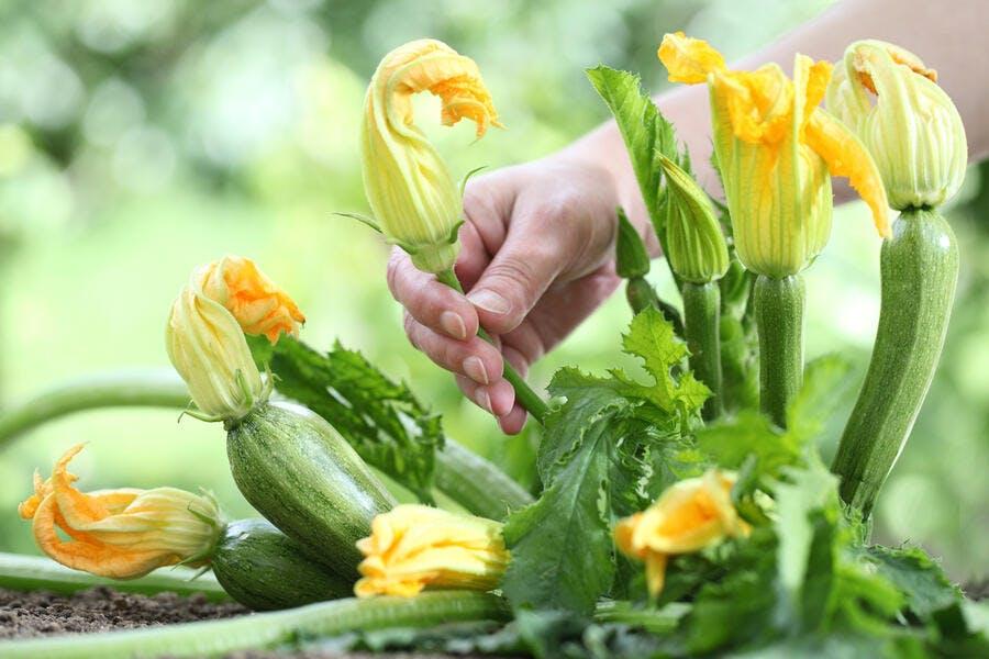 Récolte des fleurs de courgette au potager