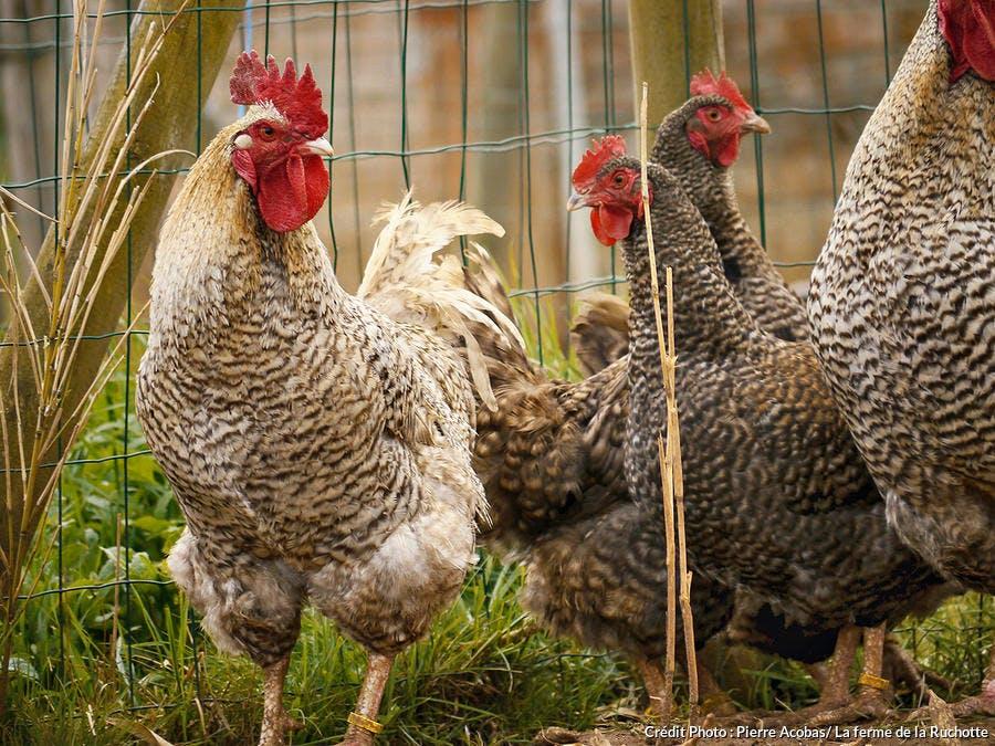 poules ruchotte