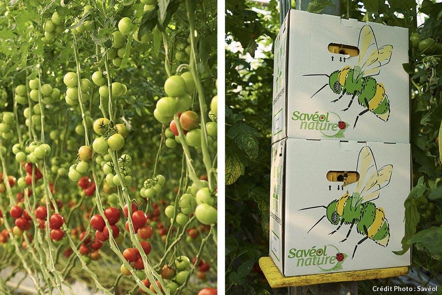Jardins suspendus de tomates Savéol et ruches de bourdons