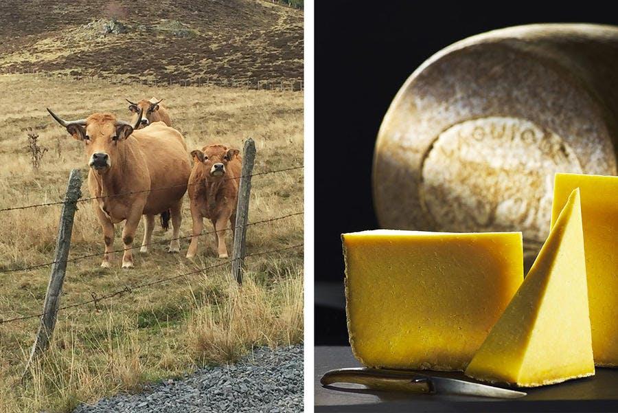 Vache race aubrac et fromage Laguiole AOP