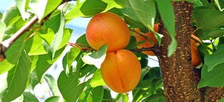 Comment cuisiner les abricots ?