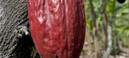 cacao cabosse