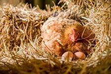 Poule avec ses oeufs